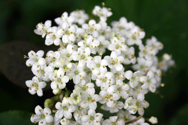 elder_flower