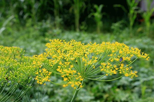 dill_flower