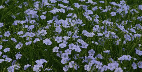 flax_flower2