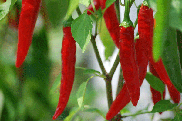 red-pepper2