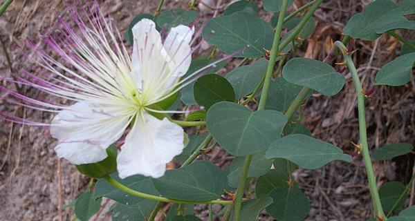 caper_plant