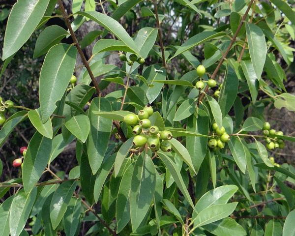 sandalwood-india