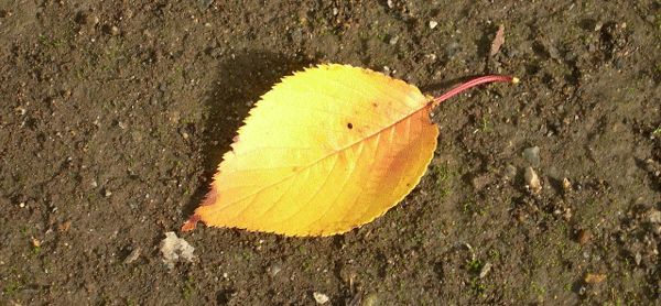 kakinoha